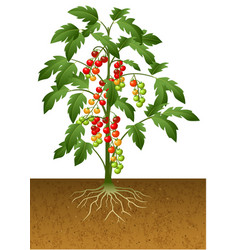 Cherry tomato plant with root under the ground vector