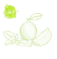 lime slice of lime and lime flower on white vector image
