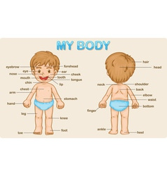 my body vector image vector image