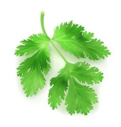 Fresh green leaves coriander vector image