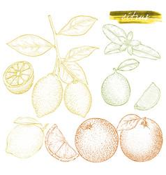 a set of citrus fruits oranges lemons and lime vector image