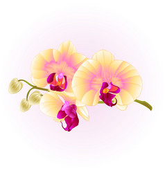 beautiful phalaenopsis orchid yellow stem vector image