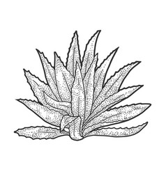 Agave plant sketch vector