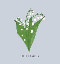 lily valley convallaria majalis hand vector image