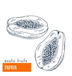 papaya hand drawn vector image vector image