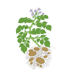 Potato plant growing spud harvest tubers vector