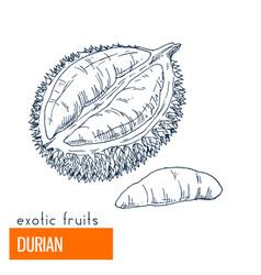 durian hand drawn vector image