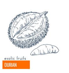 Durian hand drawn vector
