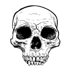 human skull art hand drawn vector image