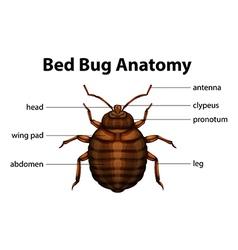 Bed Bug Anatomy vector