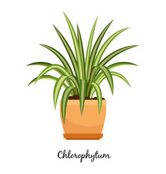 Clorofitum plant in pot icon vector