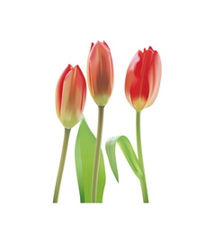 Beautiful tulips isolated on a white background vector image