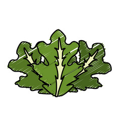 Delicious leaves lettuce organ food vector
