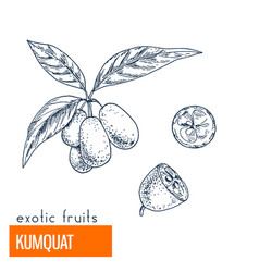 Kumquat hand drawn vector