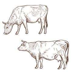 Set of hand drawn cow isolated on white vector