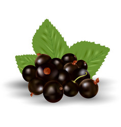berries of black currant with green leaves vector image