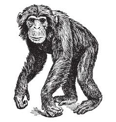 Chimpanzee vintage vector