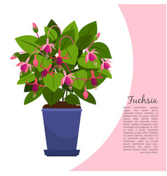 Fuchsia plant in pot banner vector