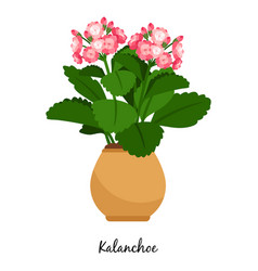 kalanchoe plant in pot vector image