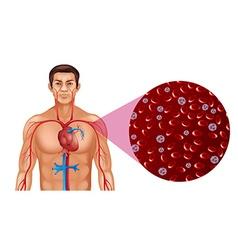 Blood circulation in human vector image vector image