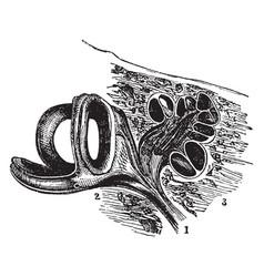 Auditory nerve vintage vector