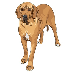 domestic dog fawn Great Dane breed vector image