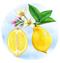 Watercolor botanical half lemon and lemon branch vector