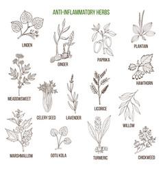 Anti-inflammatory herbs hand drawn set vector
