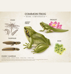 Frog life cycle retro poster vector