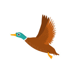 big flying brown wild or domestic duck isolated on vector image