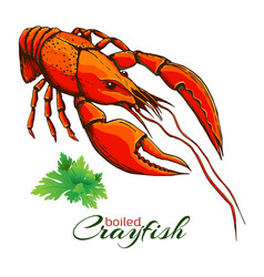red boiled crayfish one boiled lobster with bunch vector image