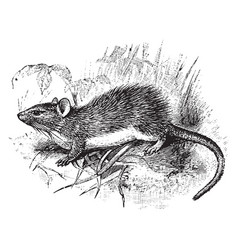 guyenne spiny rat vintage vector image