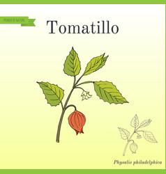 tomatillo physalis philadelphica or husk tomato vector image