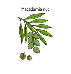 Macadamia nut branch vector
