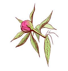 Peony bud engraved pink peony flower in vintage vector