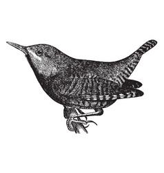Winter wren vintage vector