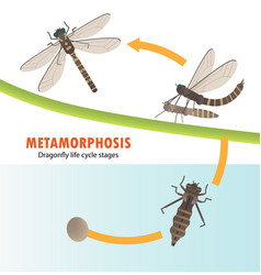 Dragonfly life cycle metamorphosis vector