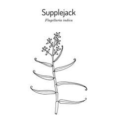 Whip vine or supplejack flagellaria indica vector