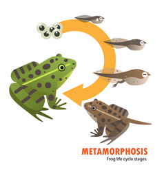 Frog life cycle metamorphosis vector