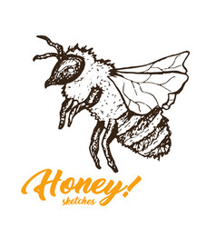 honey sketch bee honey hand drawn superfood vector image