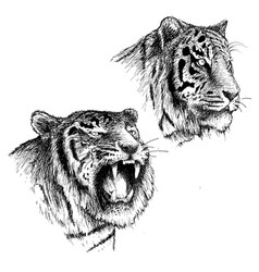 head of angry and calm tiger vector image vector image