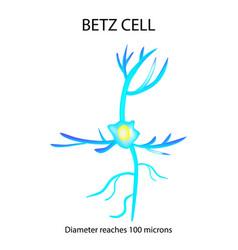 Betz cell neuron nerve cell infographics vector
