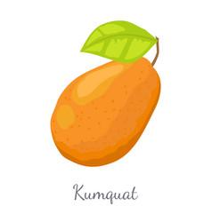 kumquat exotic juicy fruit isolated citrus vector image