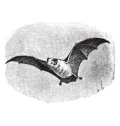 Northern ghost bat vintage vector
