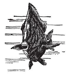 surgeon fish vintage vector image
