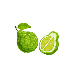 Citrus bergamot fruit whole and cut isolated lime vector