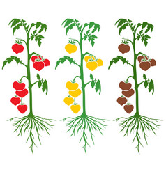 tomato plant set with large-fruited tomatoes vector image
