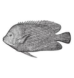 Emperor of japan angelfish vintage vector