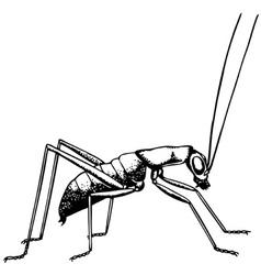 katydid ropterinae vector image