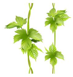 green vertical vine liana leaves hops vector image